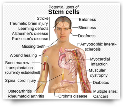 adult stem cell foundation chart